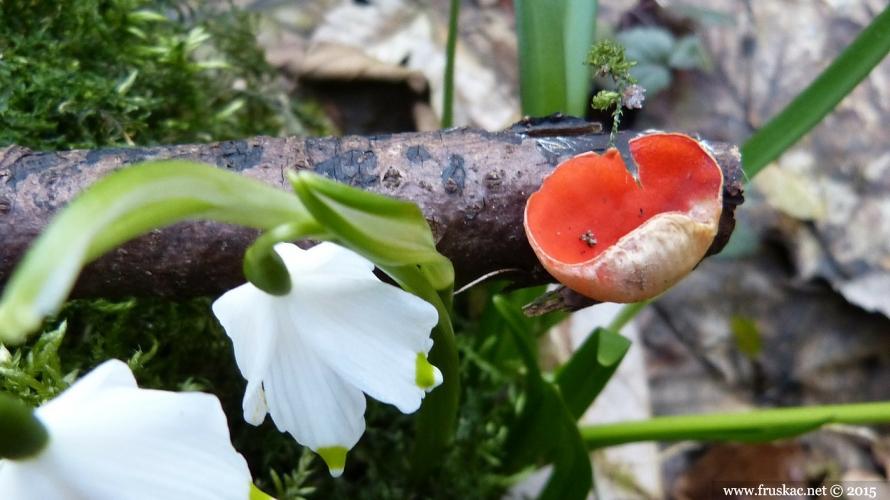 Mushrooms - Babino uvo – Sarcoscypha coccinea