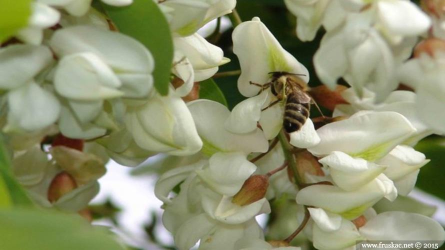 Plants - Bagrem – Robinia pseudoacacia