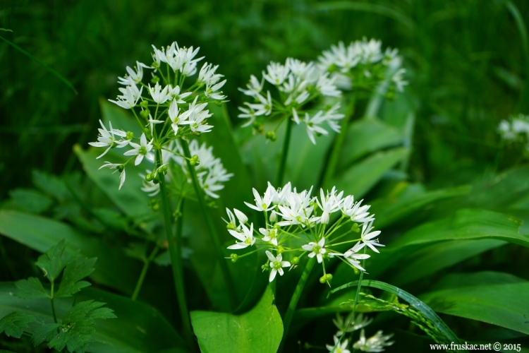 Plants - Sremuš – Allium ursinum