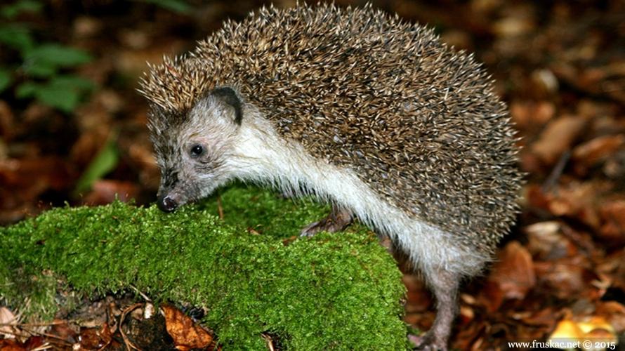 Animals -  Belogrudi jež – Erinaceus concolor
