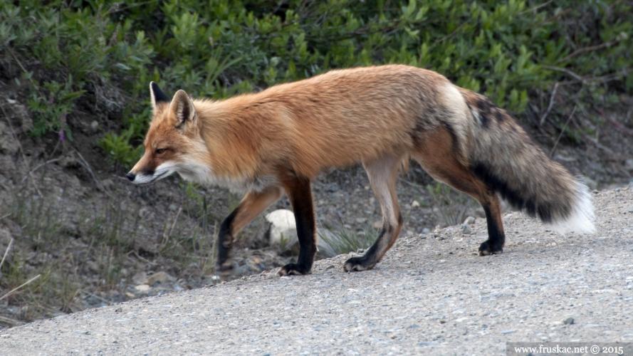 Animals - Crvena lisica - Vulpas vulpes