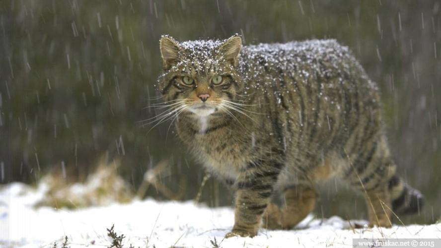Animals - Divlja mačka - Felis silvestris