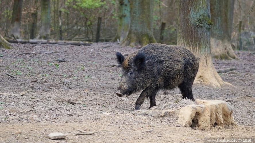 Animals - Divlja svinja - Sus scrofa