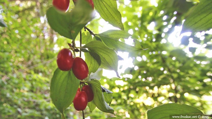 Plants - Drenjina – Cornus mas