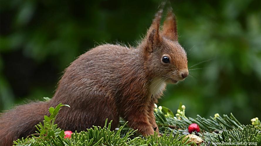 Animals - Evropska veverica - Sciurus vulgaris