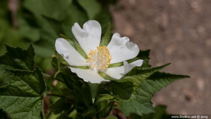 Plants - Kadivka - Kitaibelia vitifolia
