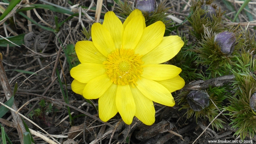 Plants - Gorocvet – Adonis vernalis
