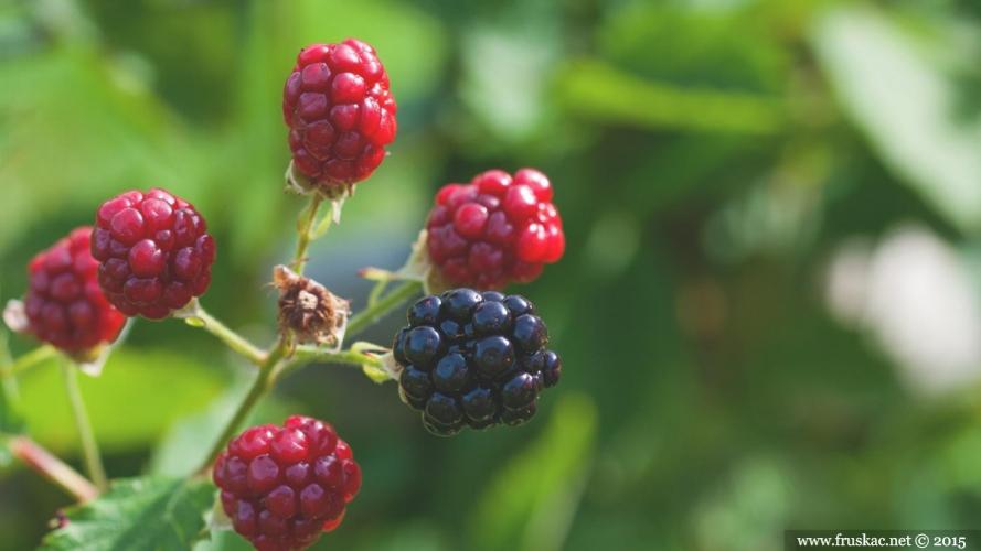 Plants - Kupina – Rubus fruticosus