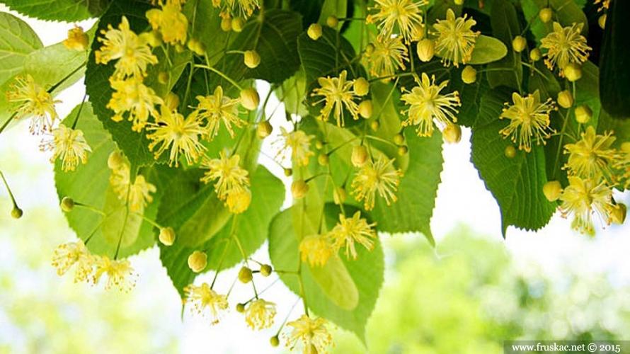 Plants - Lipa – Tilia