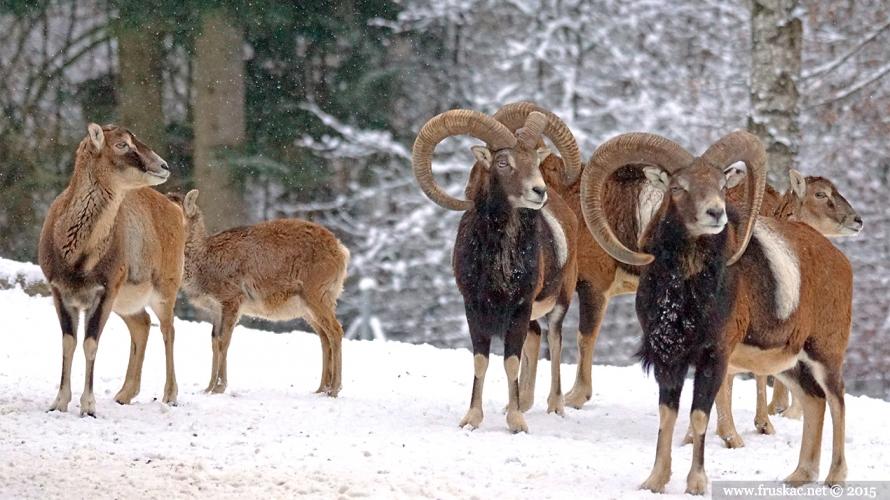 Animals - Muflon - Ovis orientalis orientalis