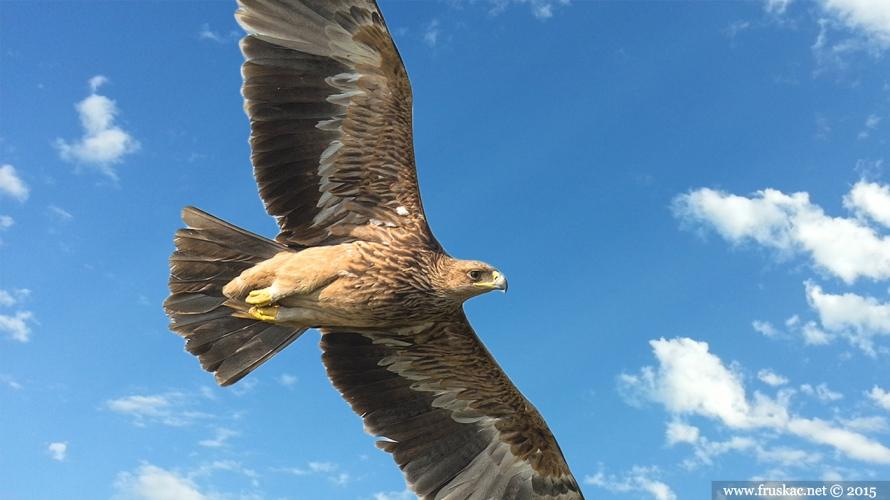 Animals - Orao Krstaš - Aquila heliaca