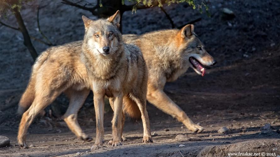 """News - Reci NE hajci na vukove u Nacionalnom parku """"Đerdap"""""""