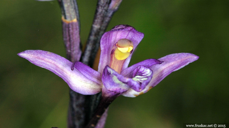Plants - Šiljorep – Limodorum abortivum