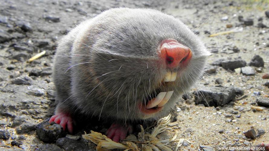 Animals - Slepo kuče - Spalax leucodon