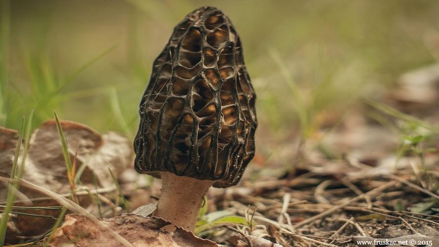 Mushrooms - Smrčci – Morchella