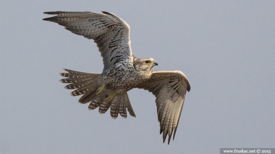 Animals - Stepski soko - Falco cherrug