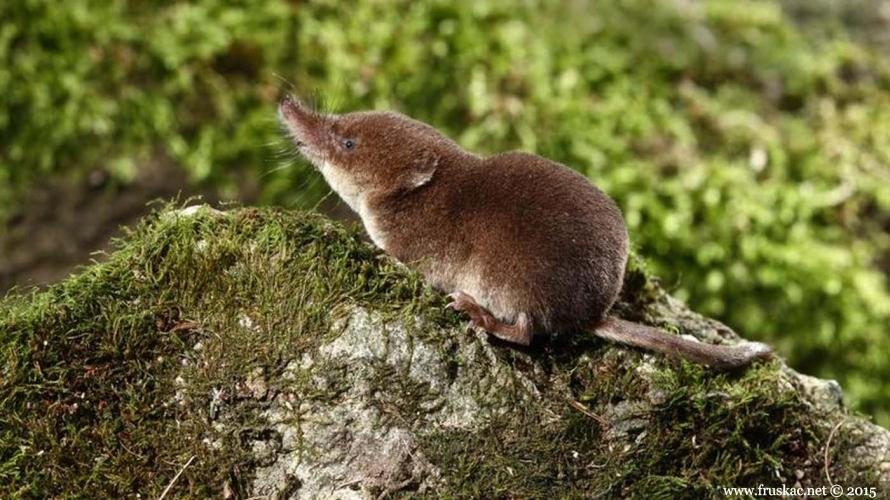 Animals - Šumska rovčica – Sorex araneus