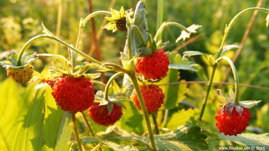 Plants - Šumske jagode – Fragaria vesca