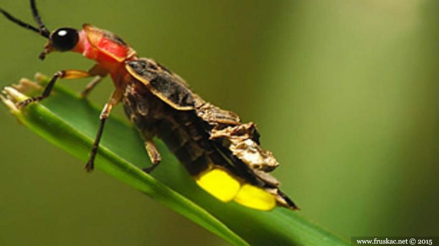 Animals - Svici – Lampyridae