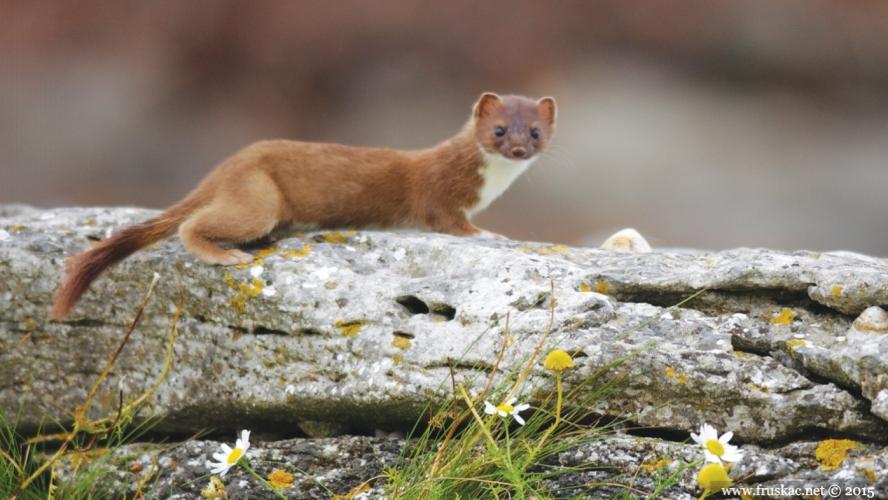Animals - Velika lasica - Mustela erminea