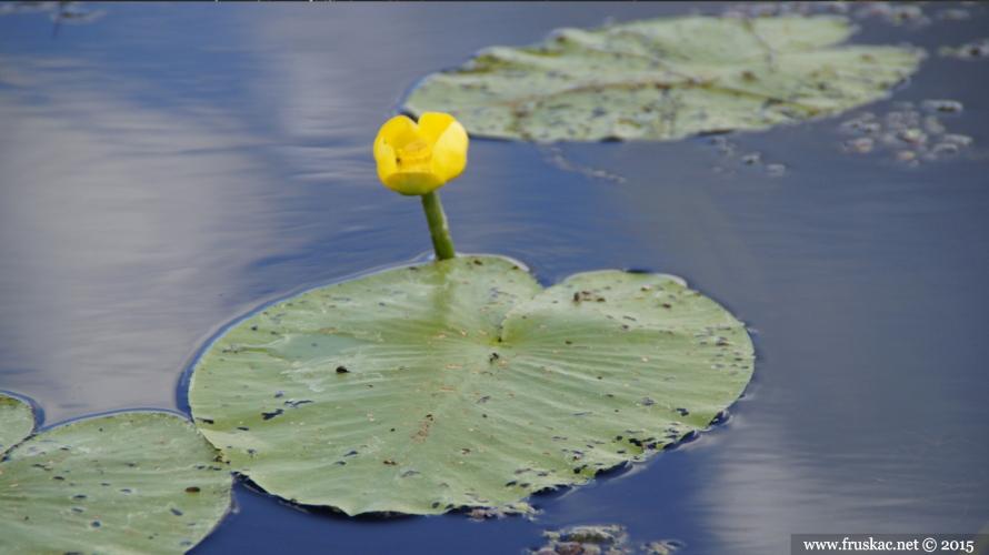 Plants -  Žuti lokvanj – Nuphar lutea