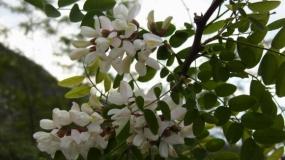 Bagrem – Robinia pseudoacacia