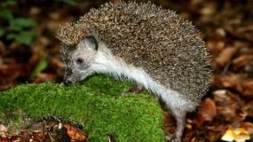 Belogrudi jež – Erinaceus concolor