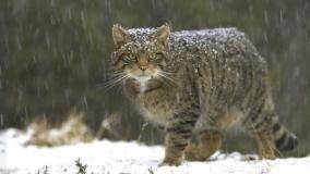 Divlja mačka - Felis silvestris
