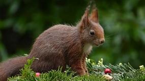 Evropska veverica - Sciurus vulgaris