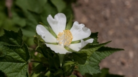 Kadivka - Kitaibelia vitifolia
