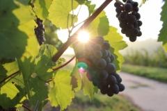 Organska vina na Fruškoj gori? Postoje!