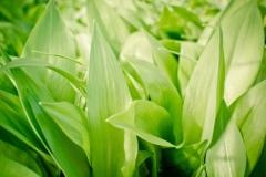 Sremuš – Allium ursinum