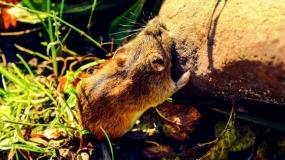 Prugasti poljski miš - Apodemus agrarius
