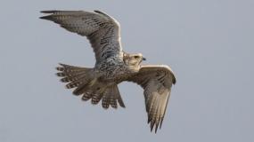 Stepski soko - Falco cherrug